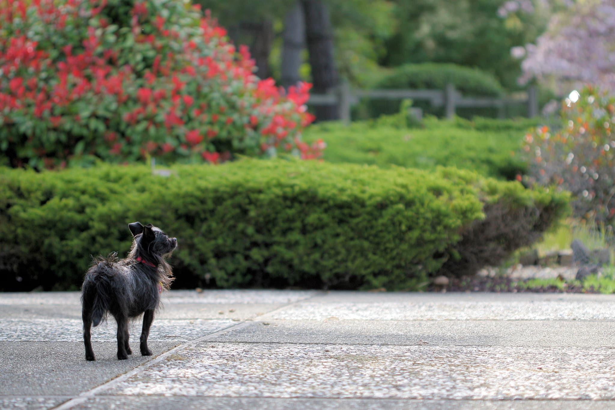 Affenhuahua hond