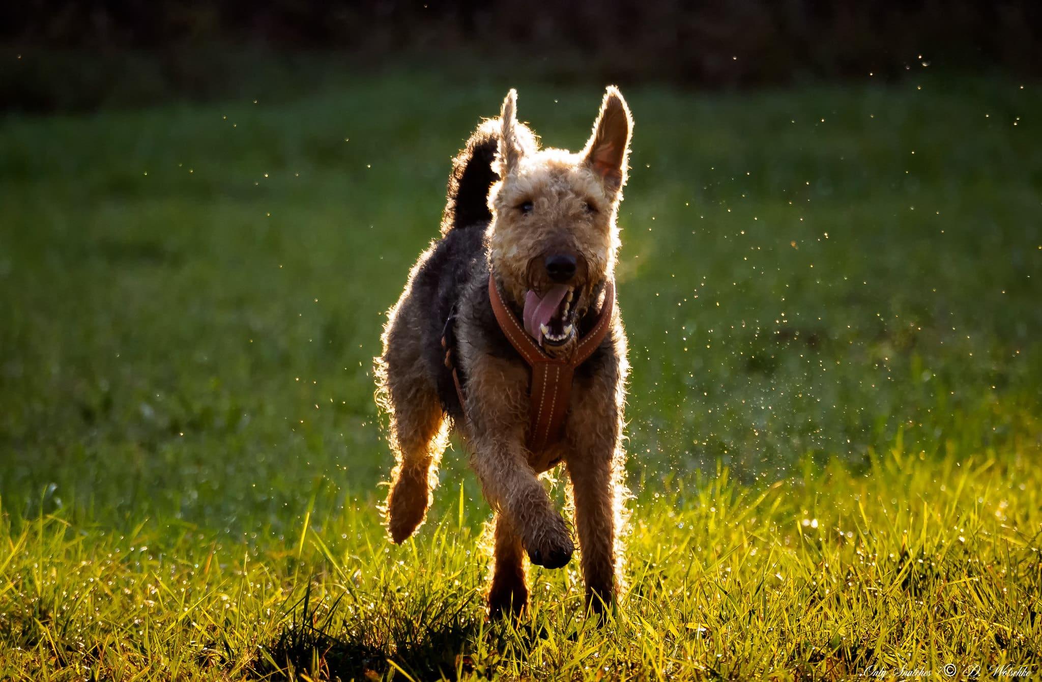 Airedale Terrier hondenras