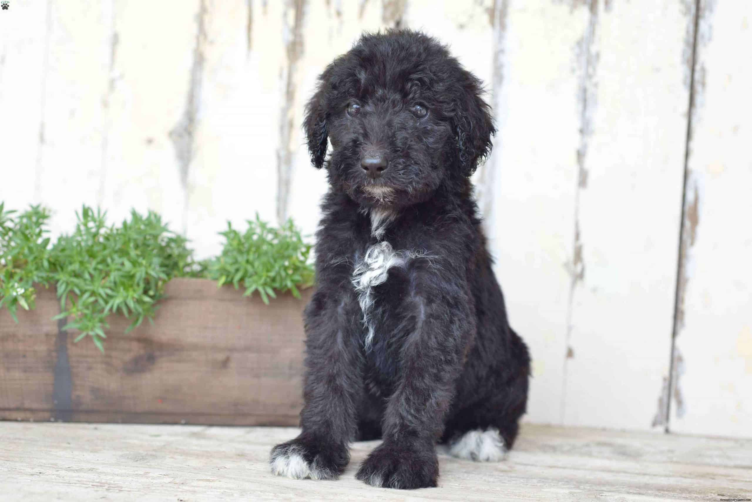 Airedoodle pup