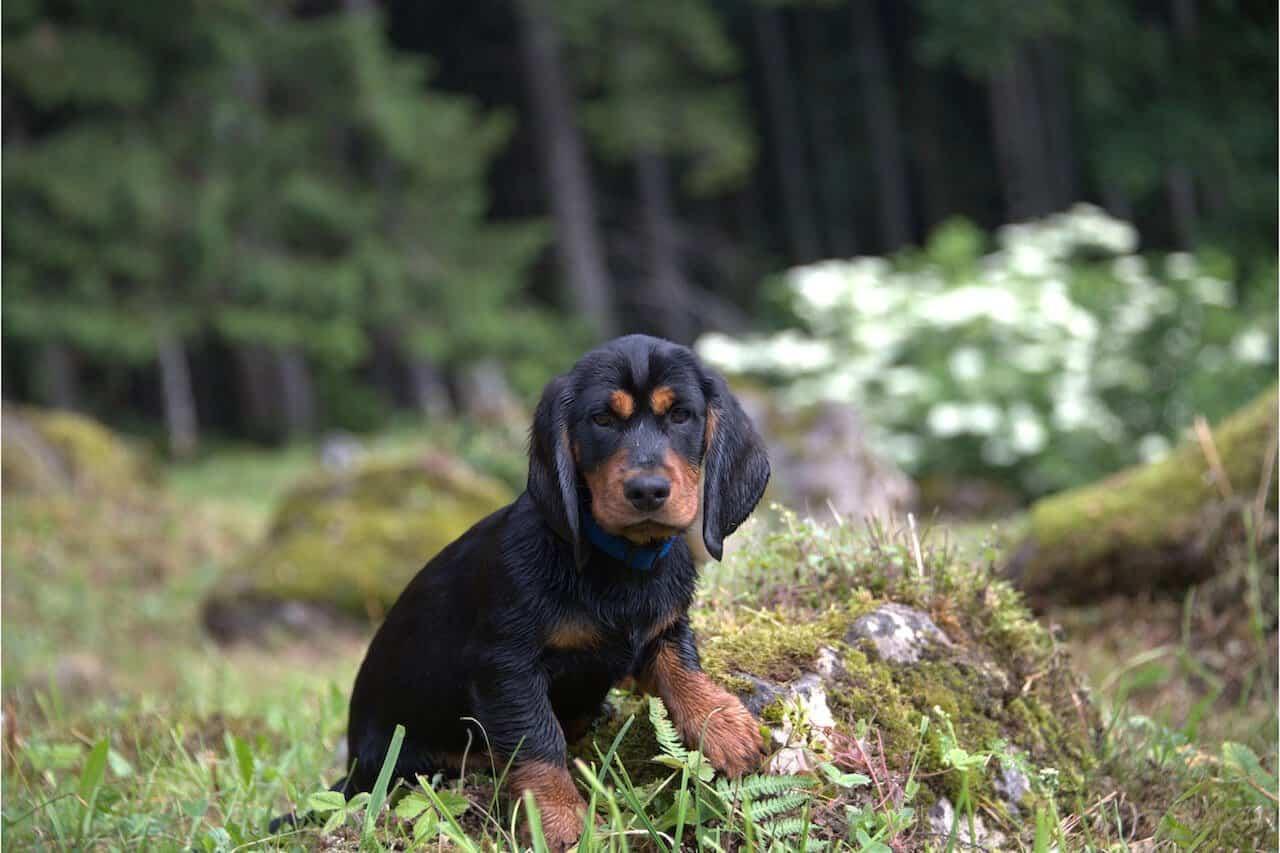 Alpenländische dachsbracke hond
