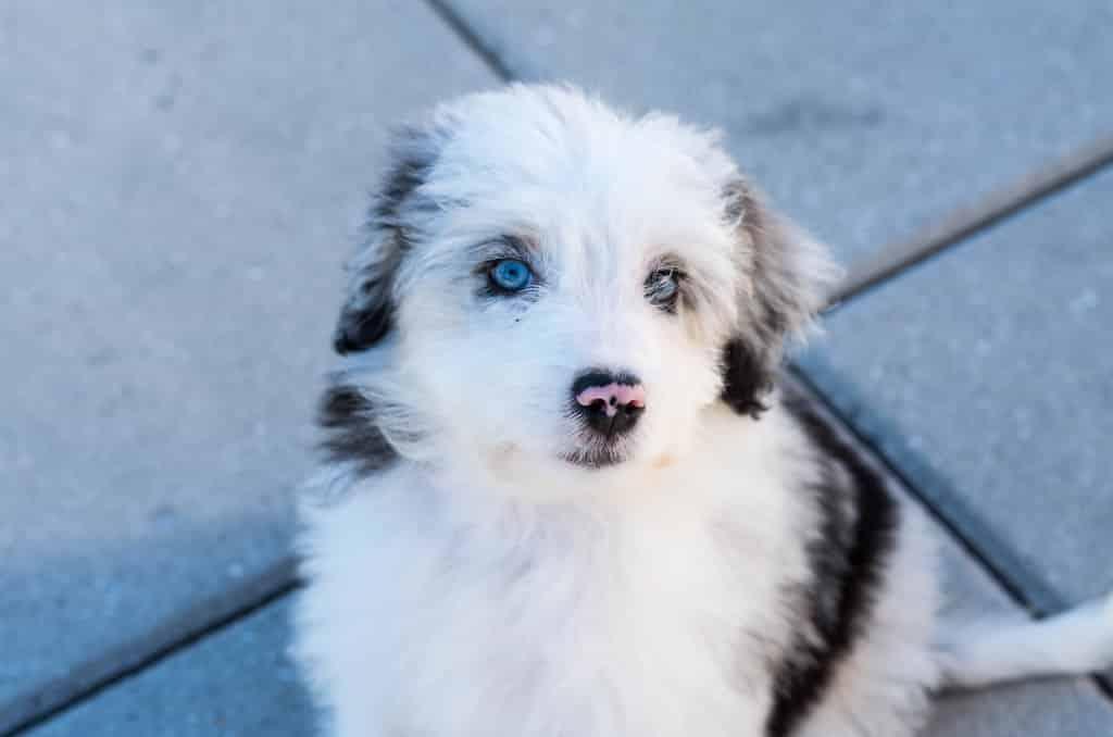 aussiedoodle pup