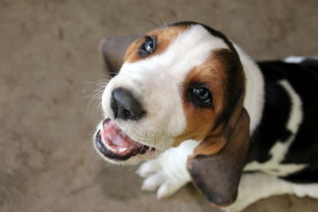 Basset Artésien Normand pup
