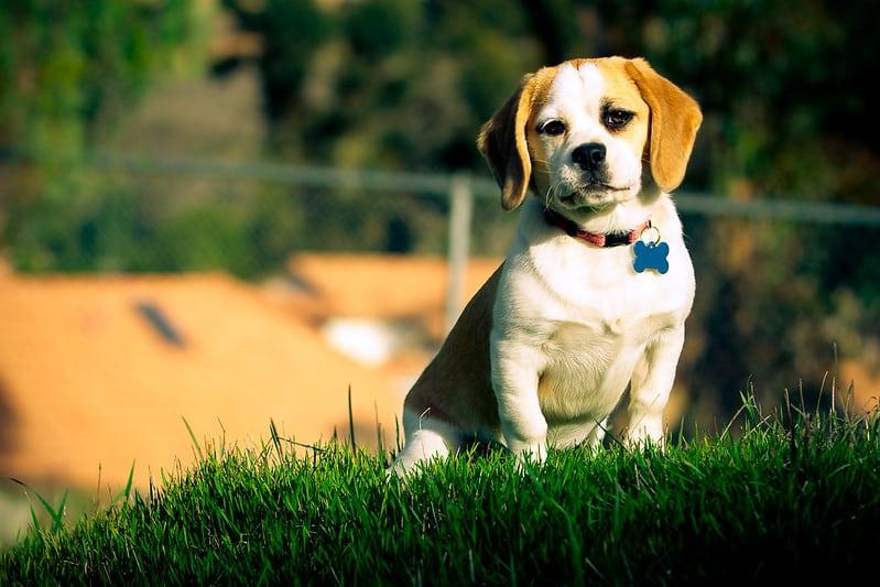 Beaglier hond