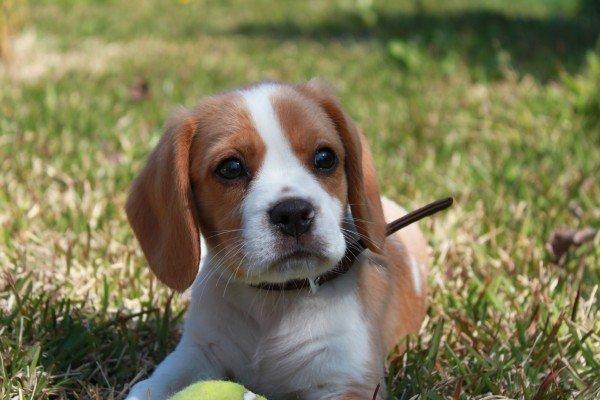 Beaglier pup