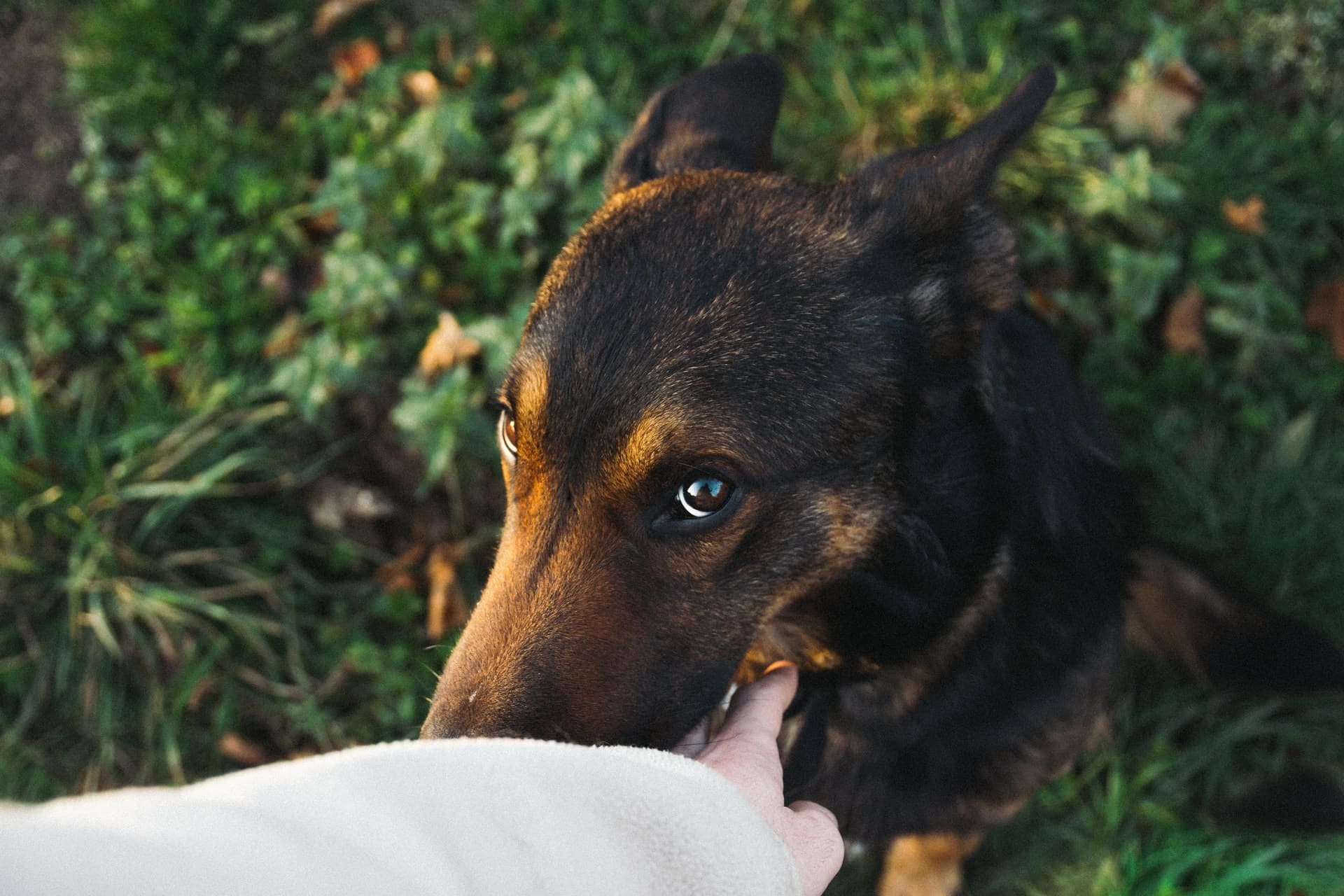 Beauceron hondenras