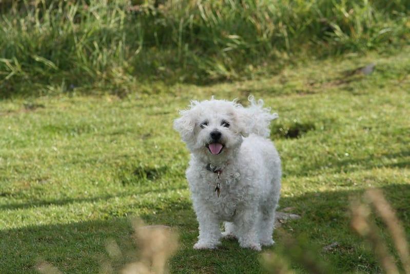 Bichon Frise hond