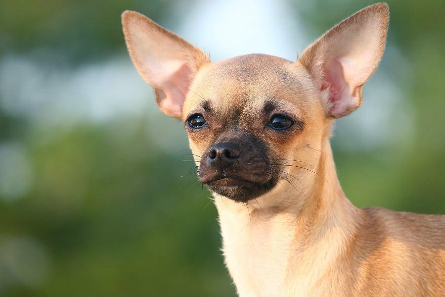 Chihuahua hond