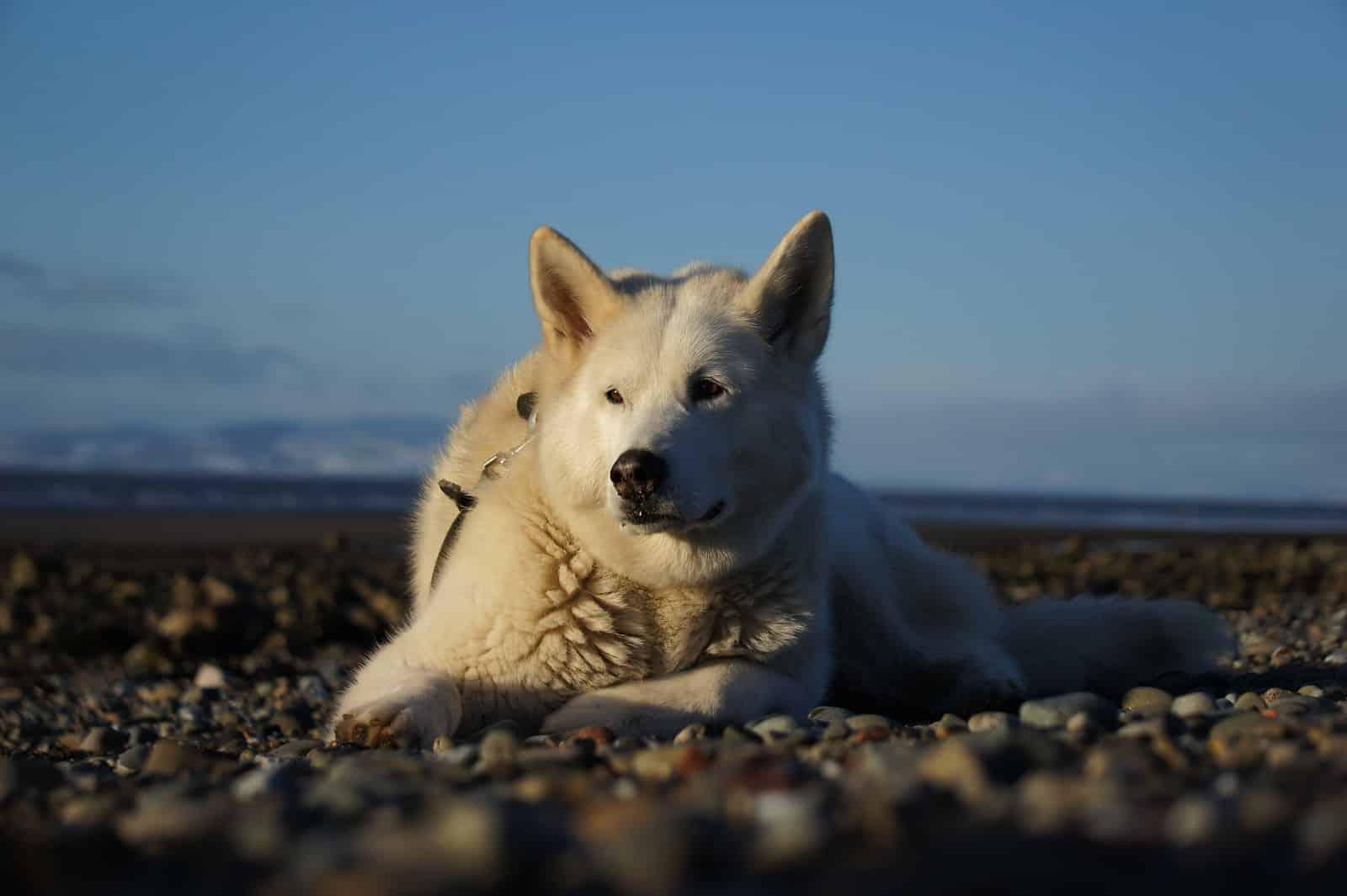 alaskan malamute hond