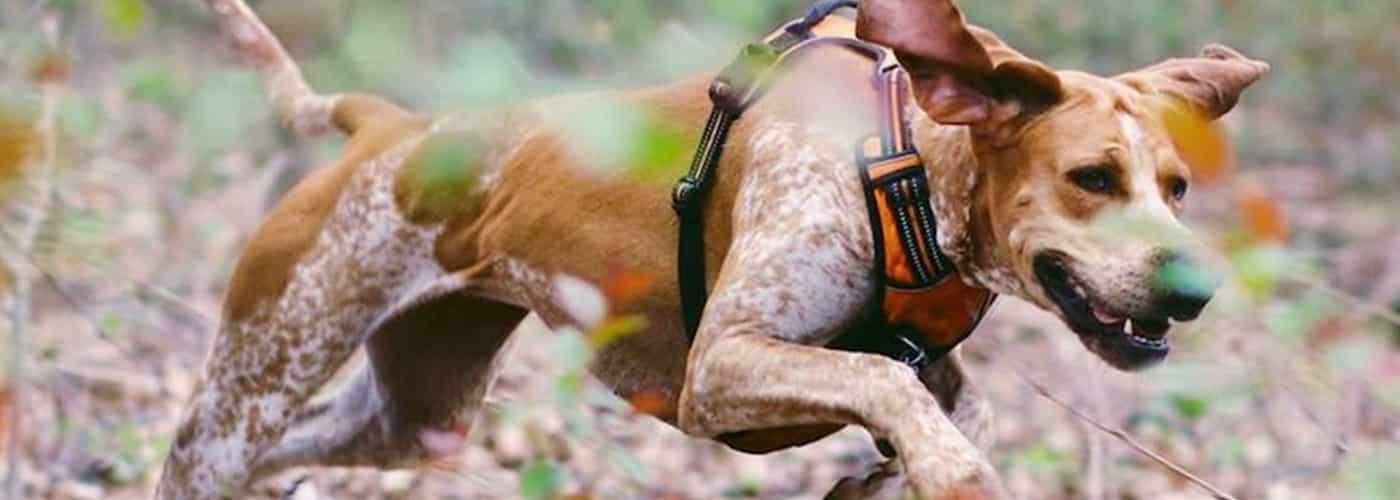 amerikaans engelse coonhound