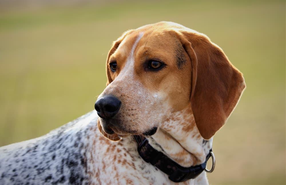 amerikaanse coonhound