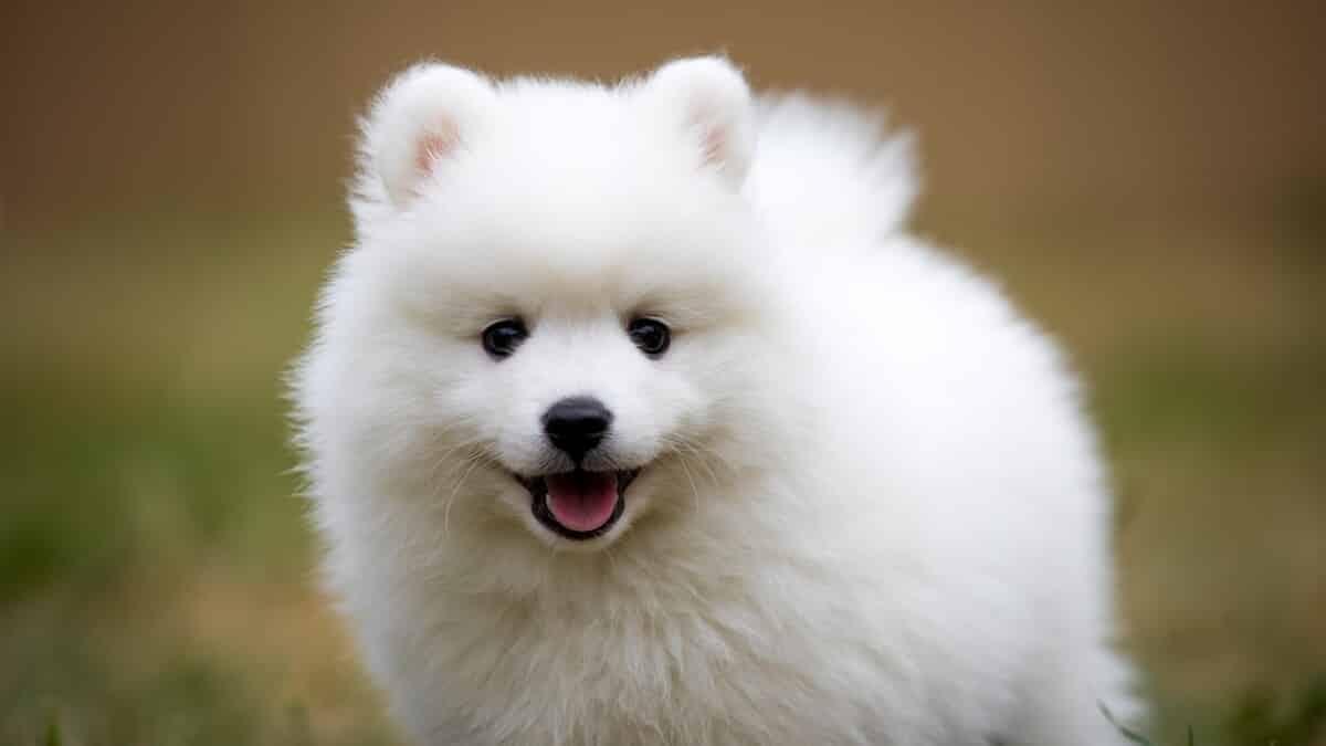 amerikaanse eskimo hond pup