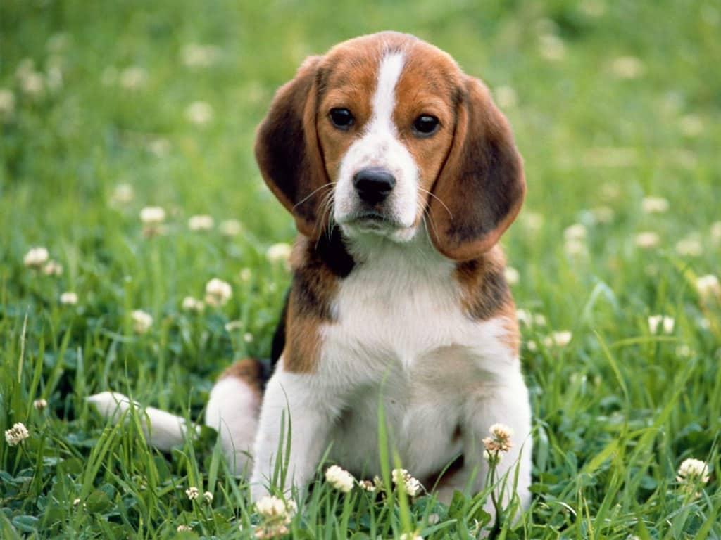amerikaanse foxhound pup