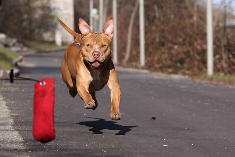 amerikaanse pitbull terrier