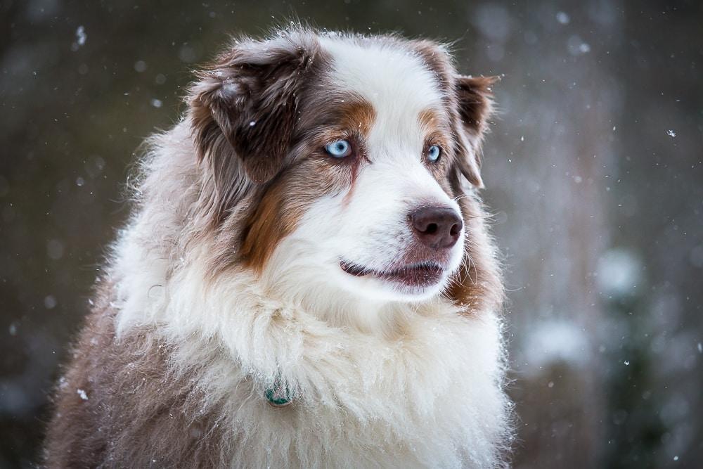 australische herder hond
