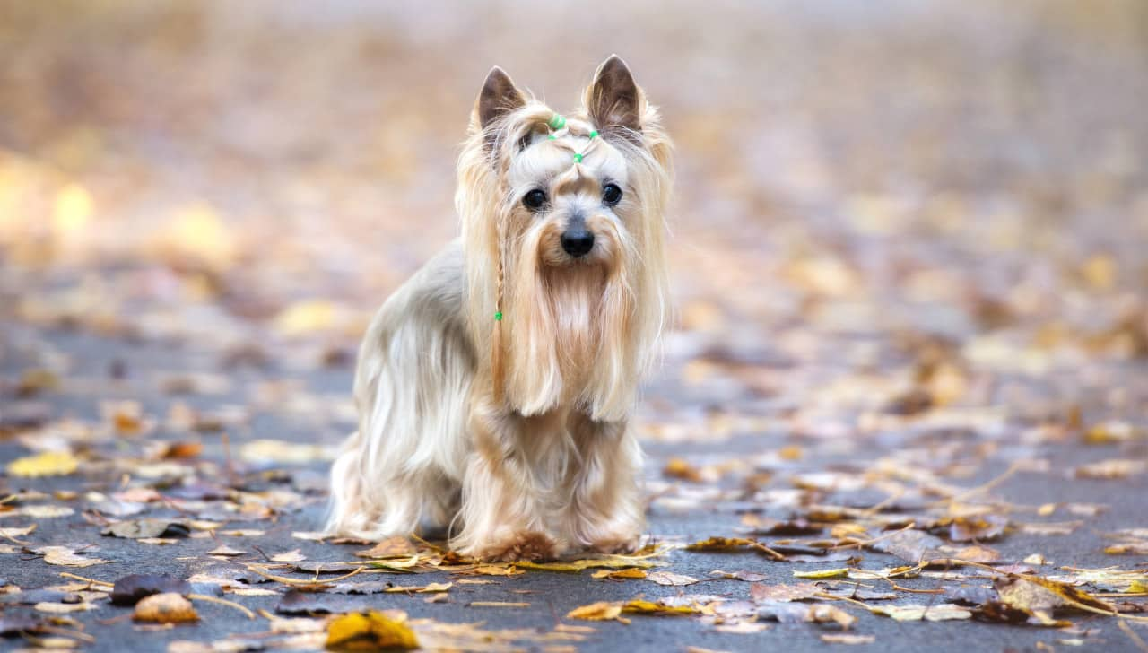 australische silky terrier