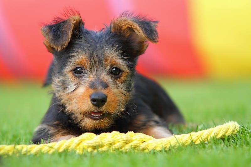 australische terrier pup