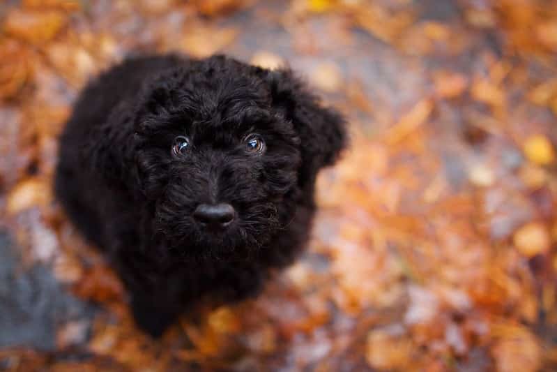 barbet pup