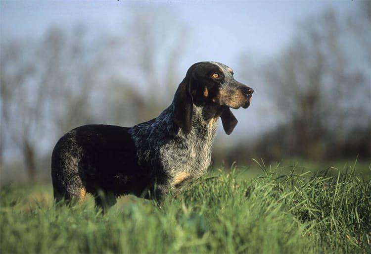 basset blue de gascogne hond