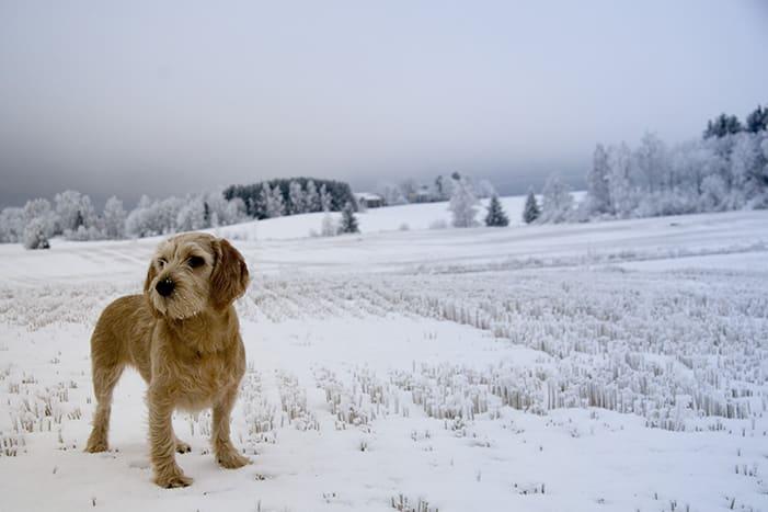 basset fauve de bretagne hond