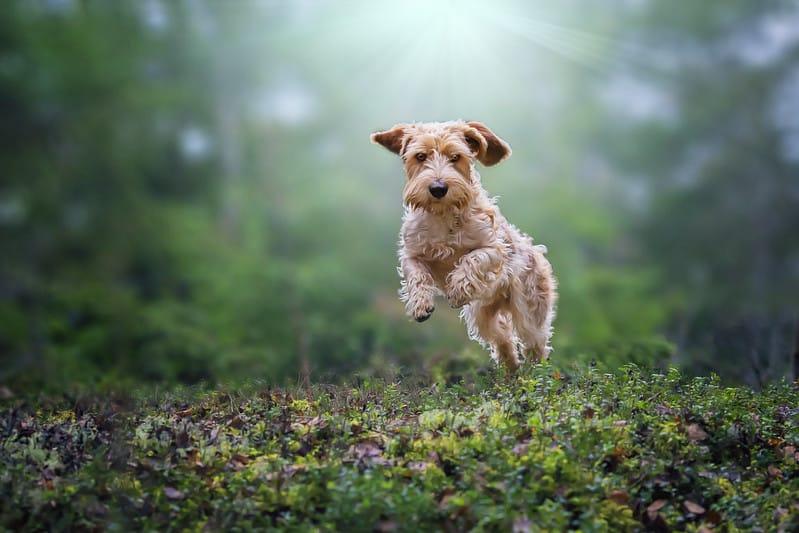 basset griffon vender hond