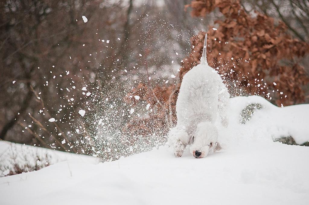 bedlington terrier karakter