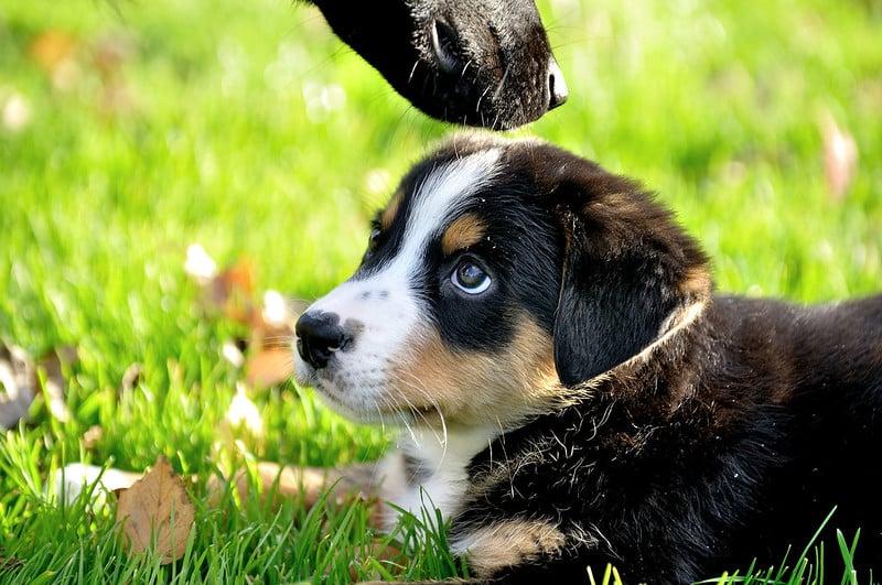 berner sennenhond pup
