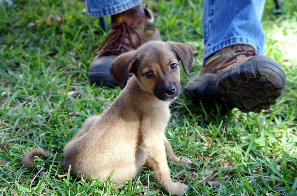 black mouth cur pup