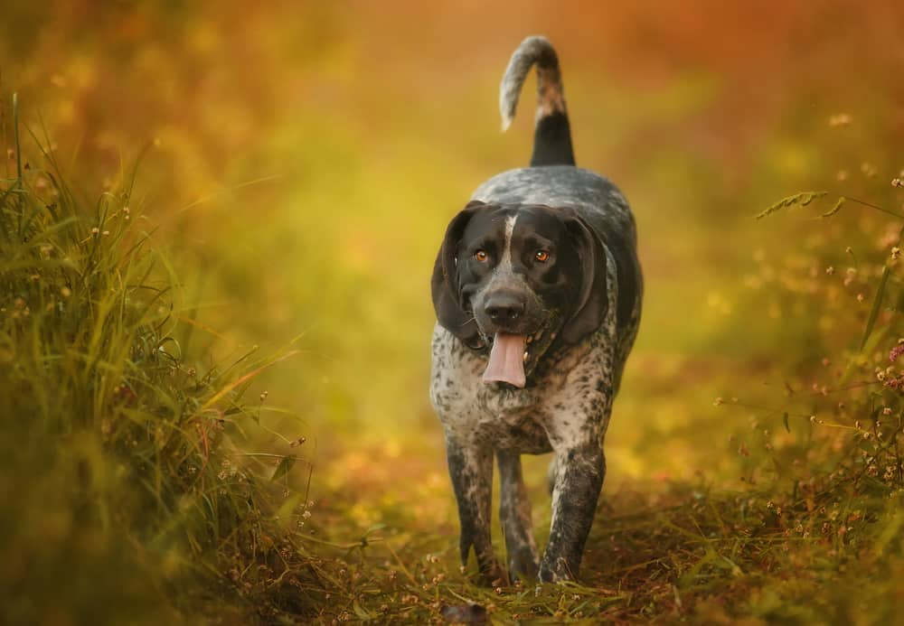 bluetick coonhound hondenras