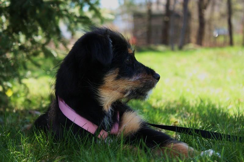border schnollie pup