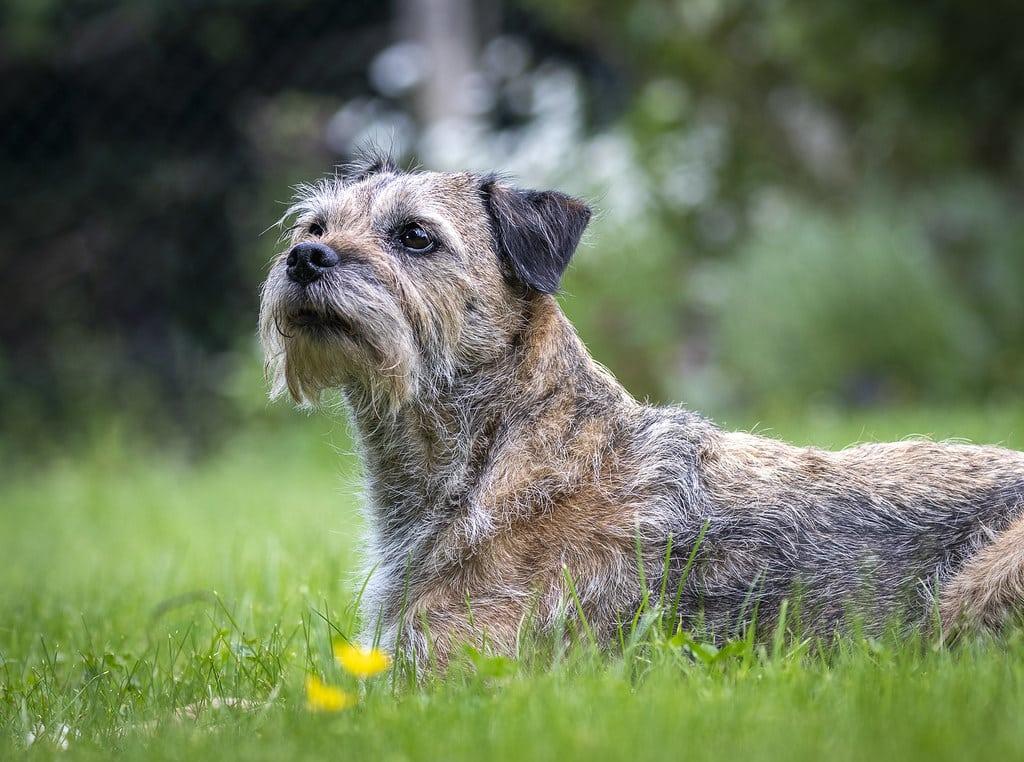 border terrier hondenras