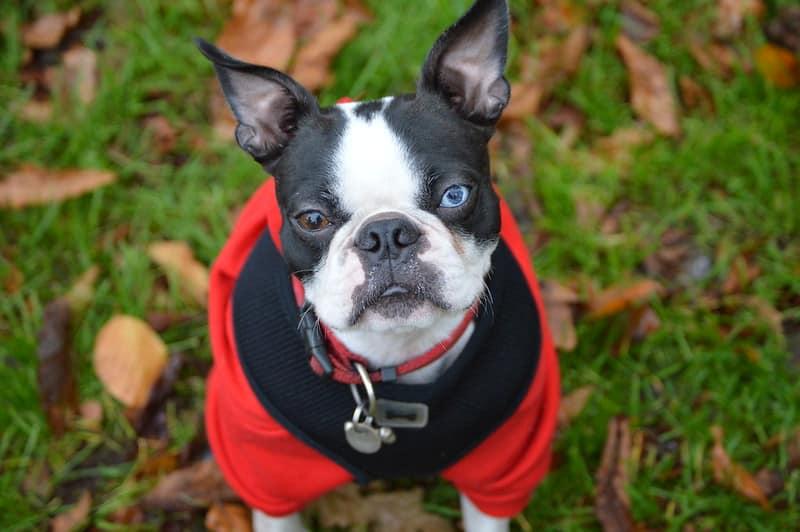 boston terrier hondenras