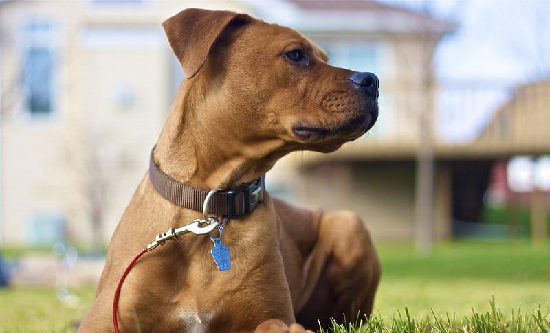 boxweiler pup