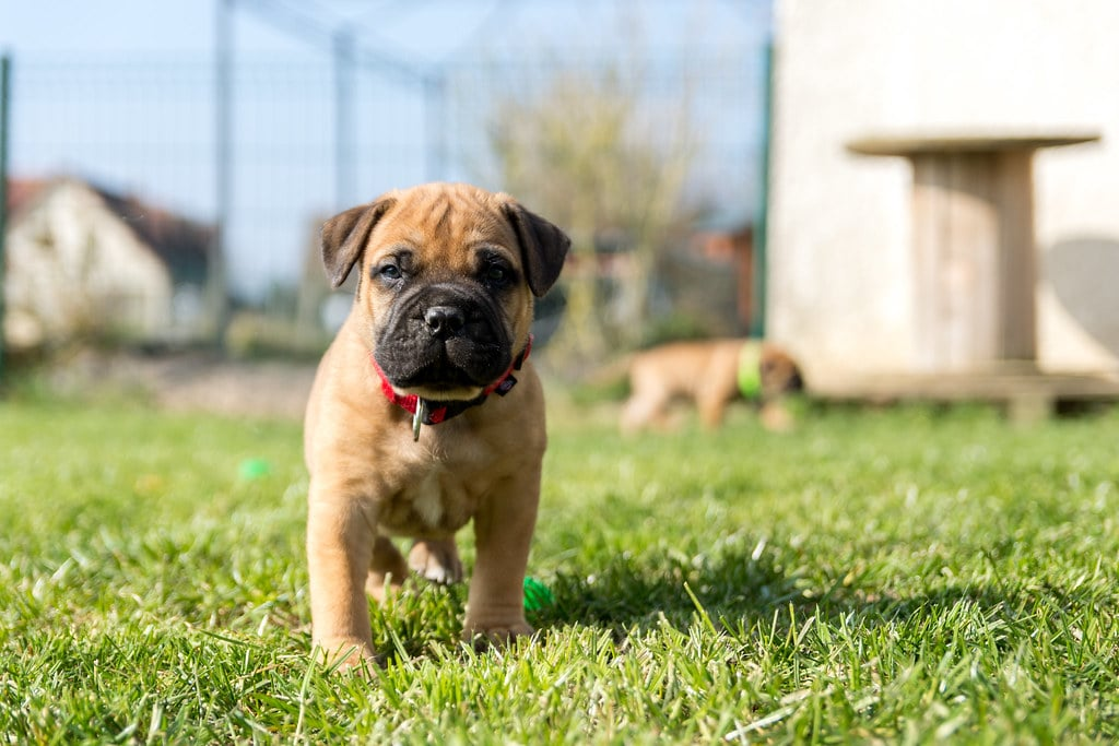 bullmastiff pup