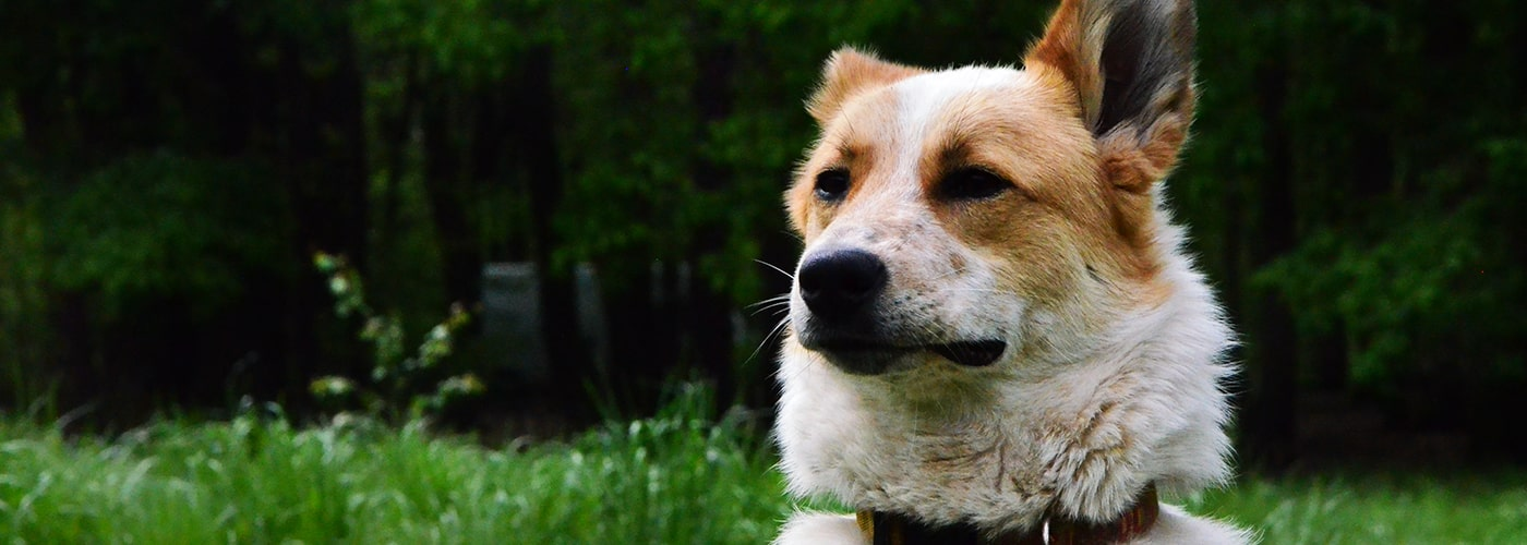 canaan hond