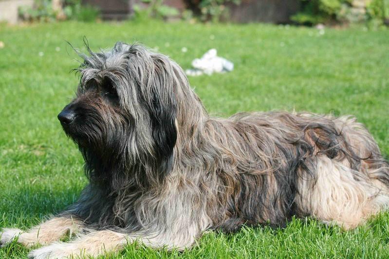 catalaanse herder hondenras