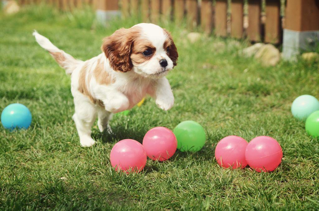 cavalier king charles pup