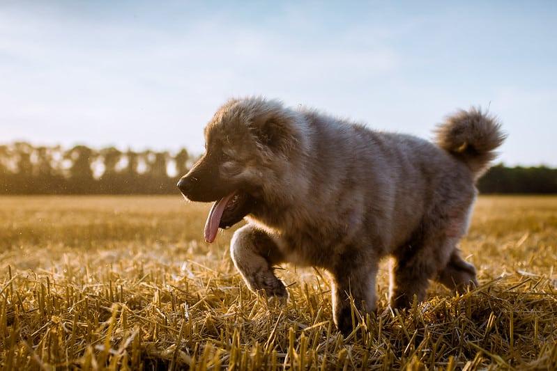 centraal aziatische ovcharka pup