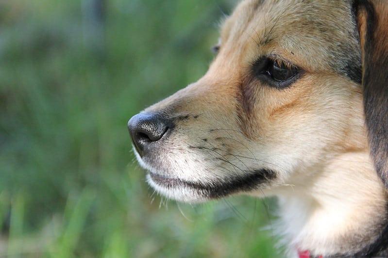 cheagle hond