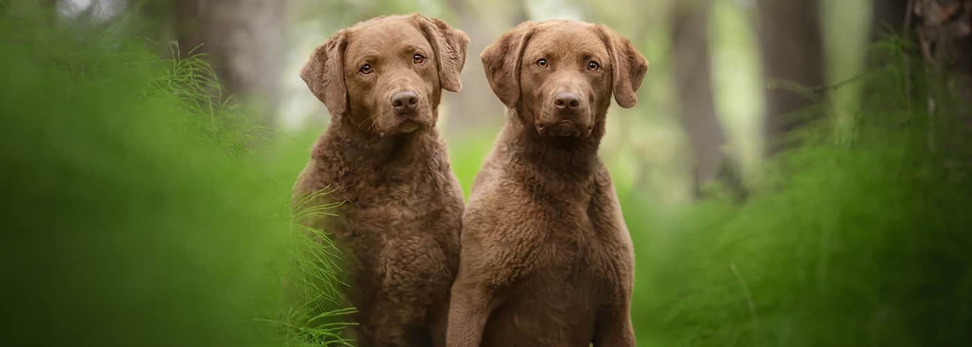 chesapeake bay retriever hondenras