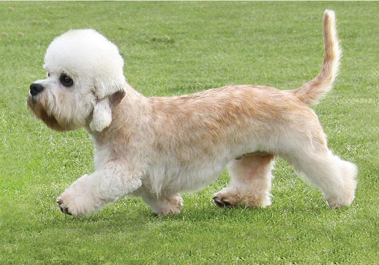 dandy Dinmont terrier hond