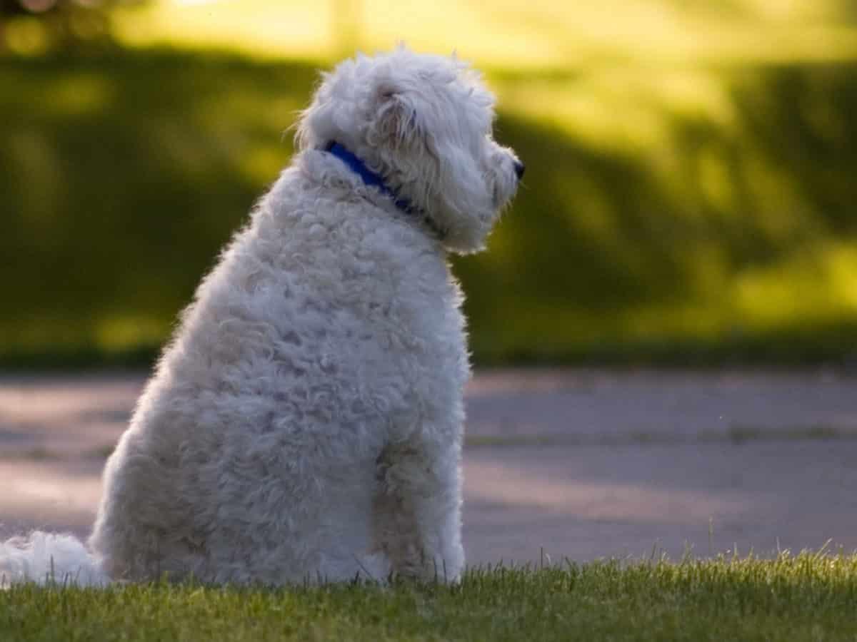eskapoo hond