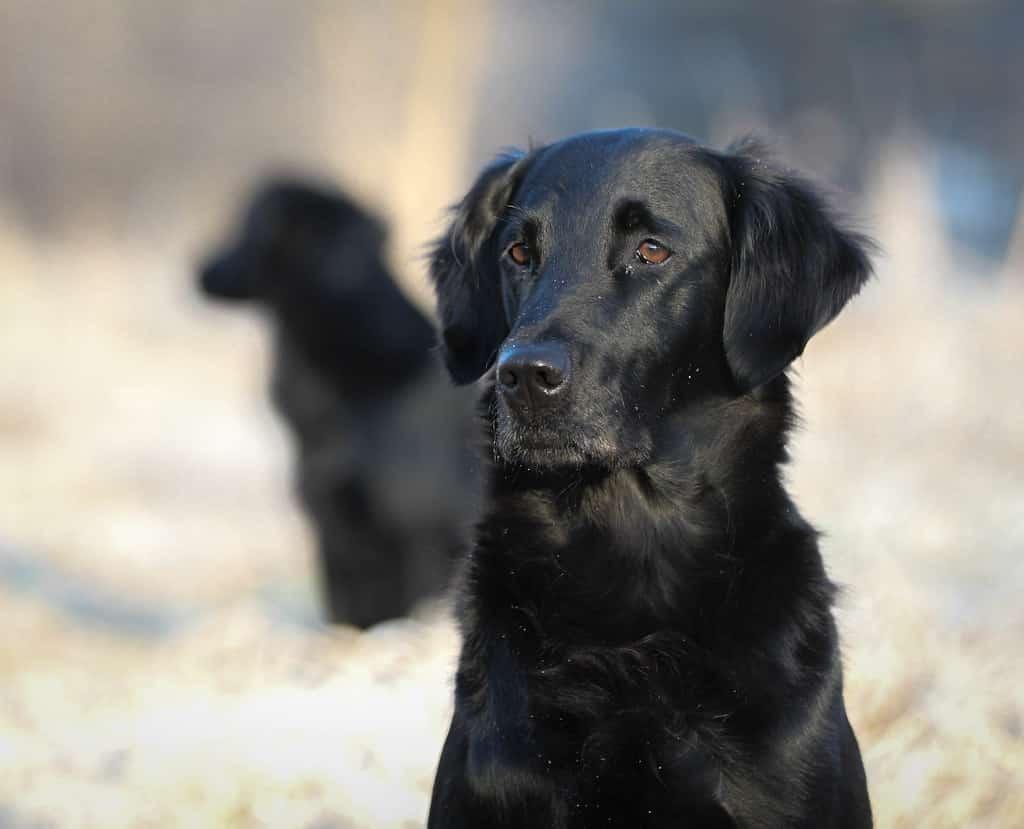Flatcoated retriever hondenras