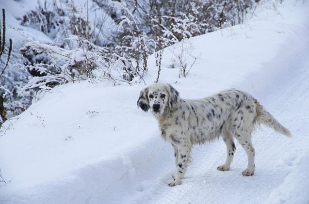 goldmatian hond