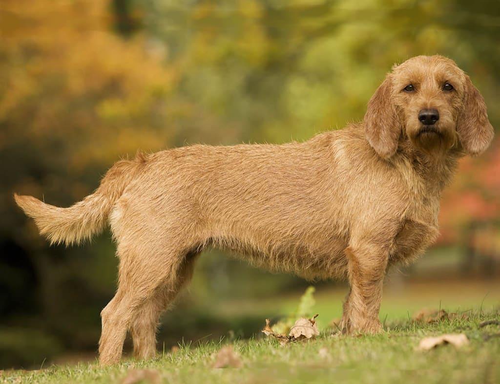 Griffon Fauve de Bretagne hondenras