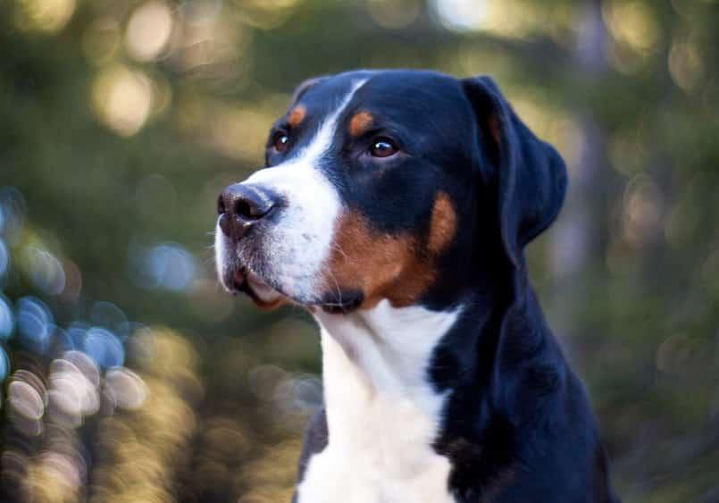 Grote Zwitserse Sennenhond karakter