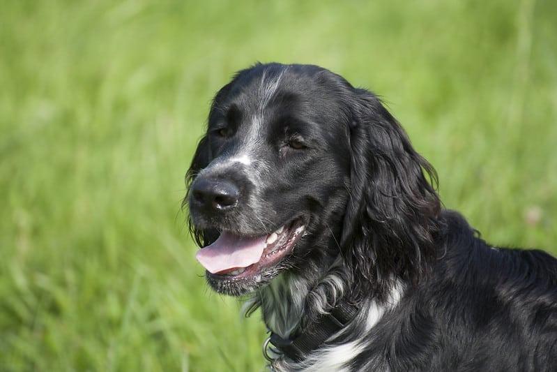 grote munsterlander hondenras
