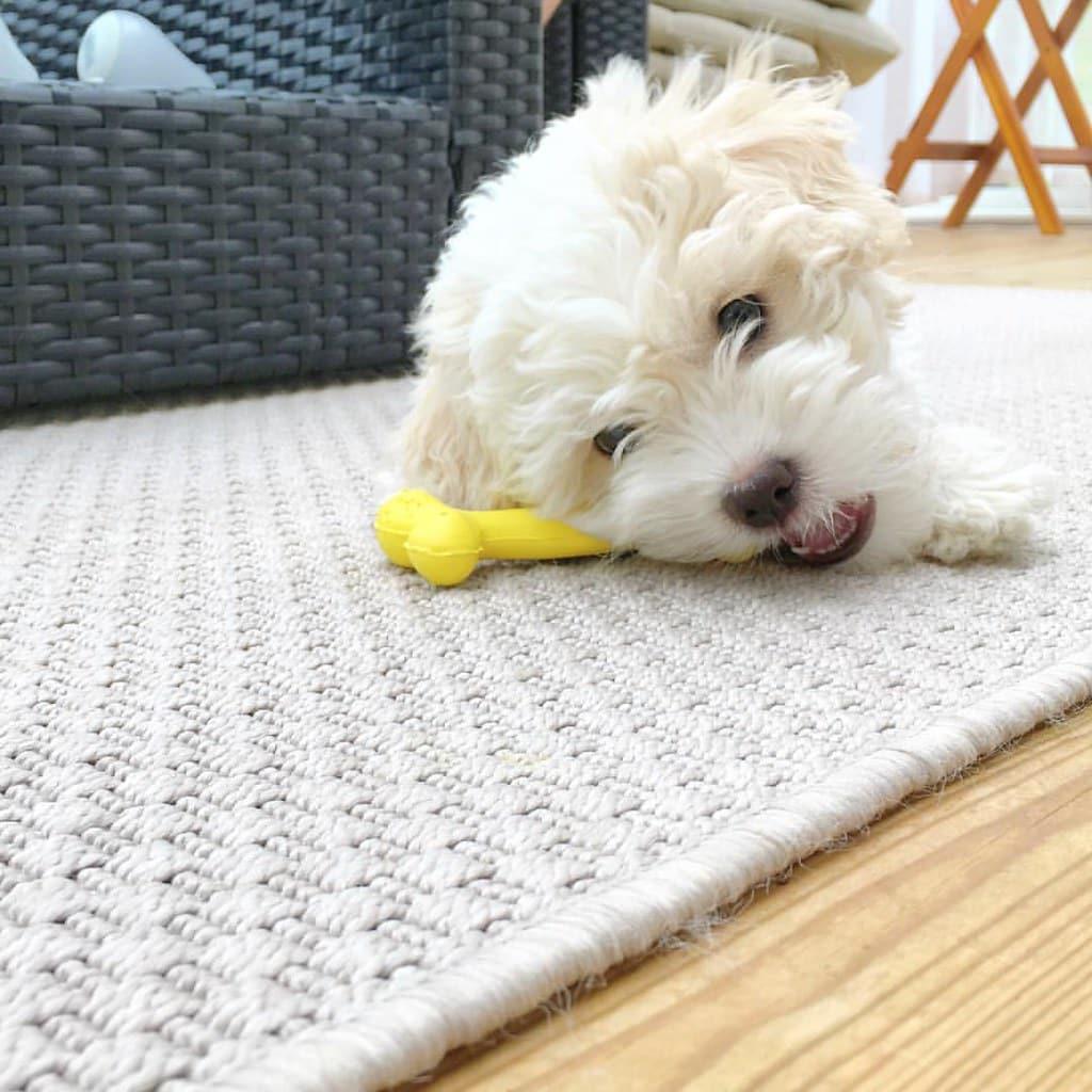 Havachon hond
