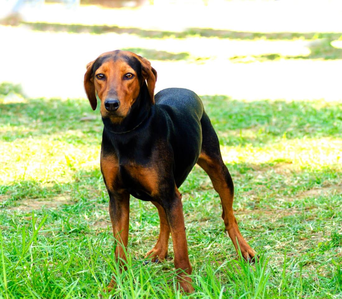 Hellinikos Ichnilatis hondenras