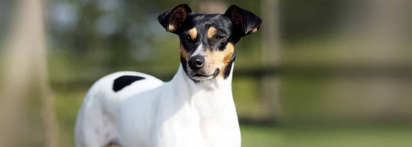 chileense terrier