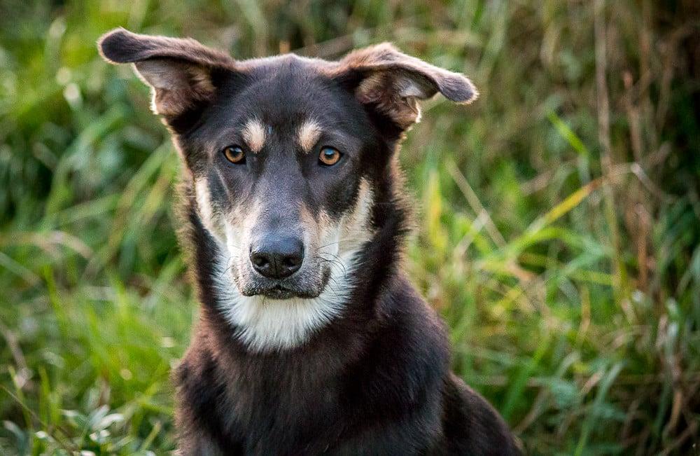 chinook hondenras